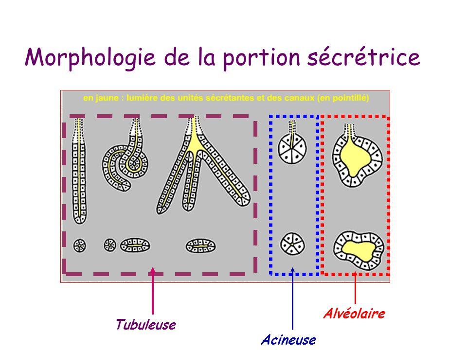 Morphologie de la portion sécrétrice