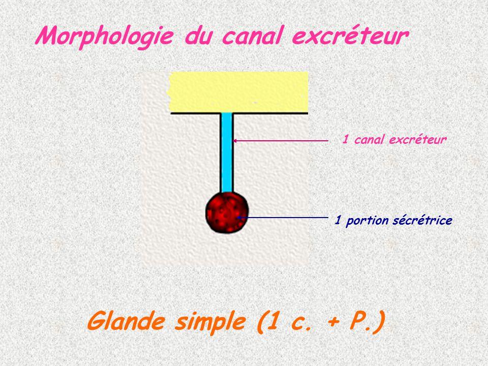 Morphologie du canal excréteur