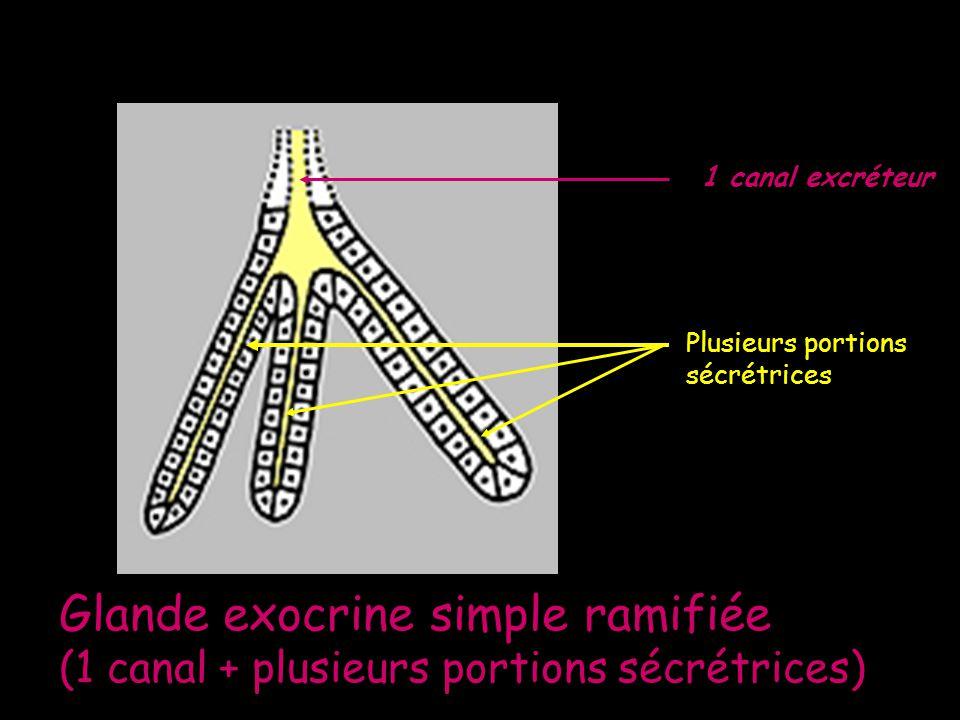 Glande exocrine simple ramifiée