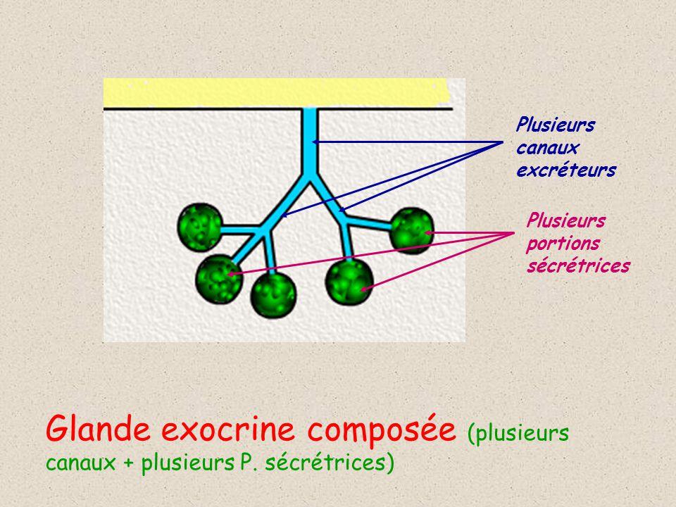Glande exocrine composée (plusieurs canaux + plusieurs P. sécrétrices)