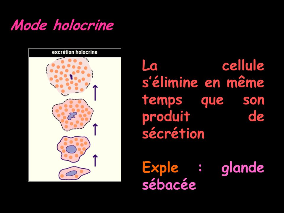 Mode holocrine La cellule s'élimine en même temps que son produit de sécrétion.