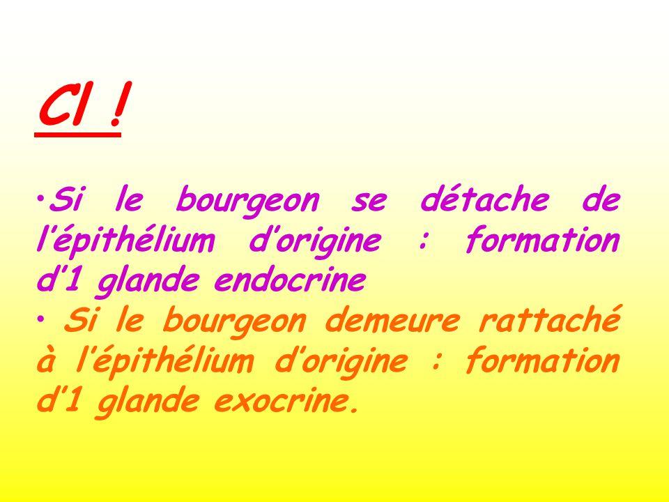Cl ! Si le bourgeon se détache de l'épithélium d'origine : formation d'1 glande endocrine.