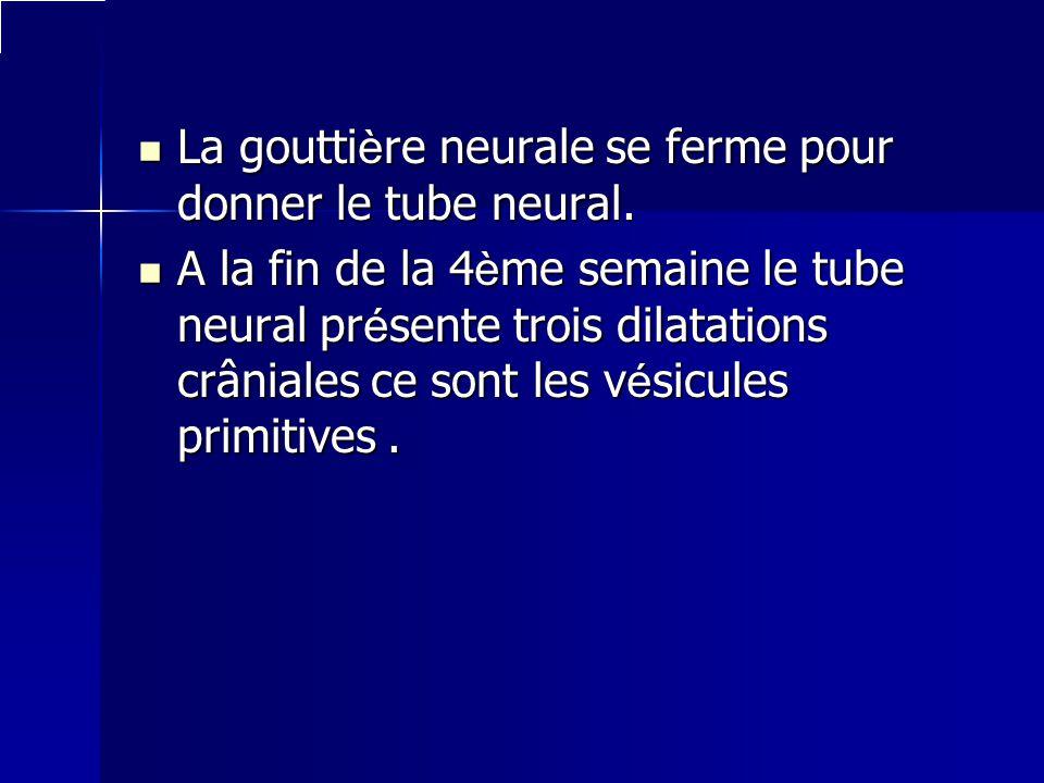 La gouttière neurale se ferme pour donner le tube neural.