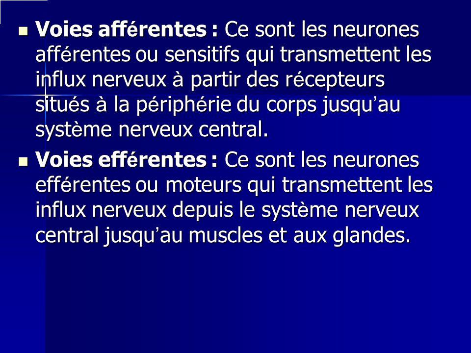 Voies afférentes : Ce sont les neurones afférentes ou sensitifs qui transmettent les influx nerveux à partir des récepteurs situés à la périphérie du corps jusqu'au système nerveux central.