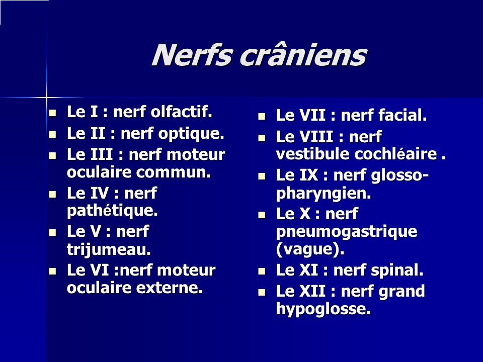 Nerfs crâniens Le I : nerf olfactif. Le VII : nerf facial.