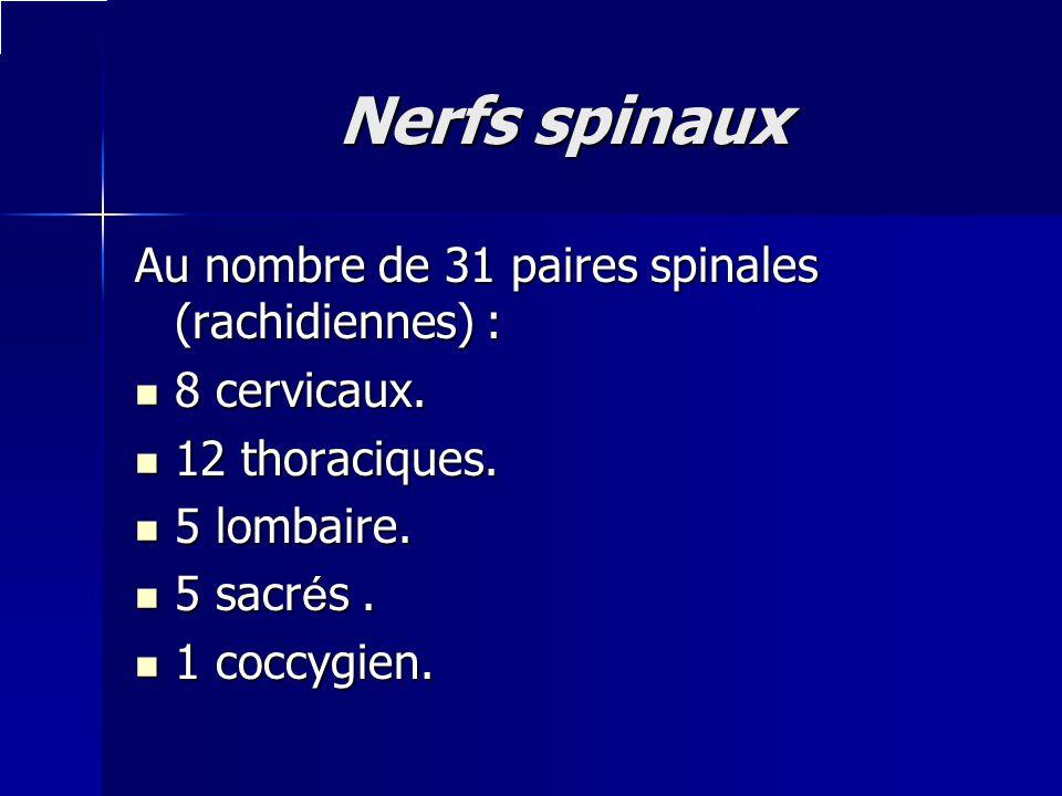 Nerfs spinaux Au nombre de 31 paires spinales (rachidiennes) :