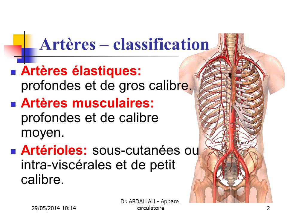 Artères – classification
