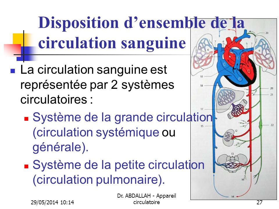 Disposition d'ensemble de la circulation sanguine