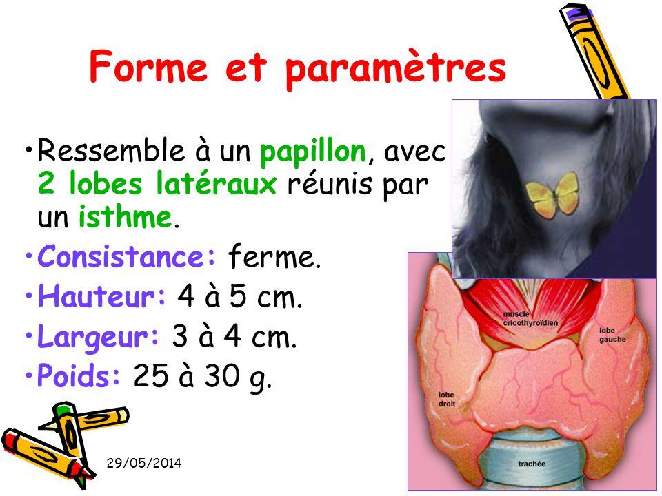 Forme et paramètres Ressemble à un papillon, avec 2 lobes latéraux réunis par un isthme. Consistance: ferme.