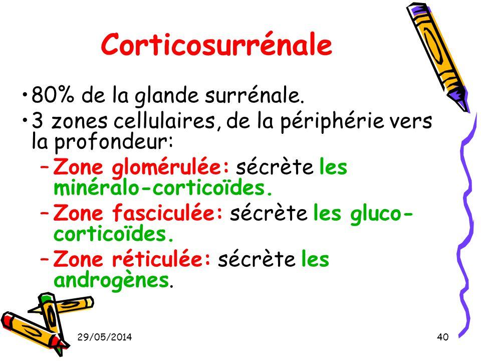 Corticosurrénale 80% de la glande surrénale.