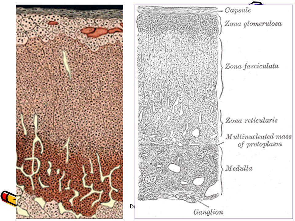 Dr. BAYOUD - Système endocrinien
