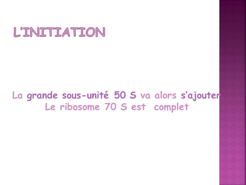L'Initiation La grande sous-unité 50 S va alors s'ajouter Le ribosome 70 S est complet