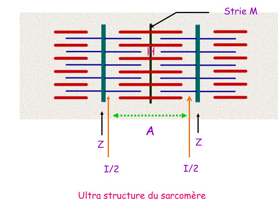 Ultra structure du sarcomère