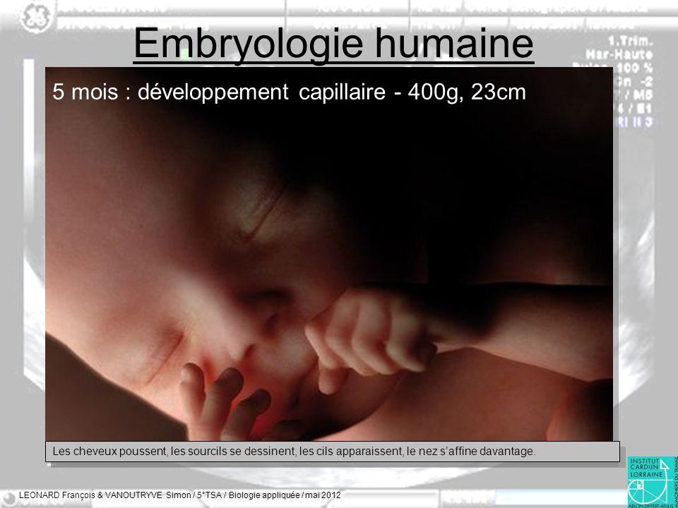 Embryologie humaine 5 mois : développement capillaire - 400g, 23cm