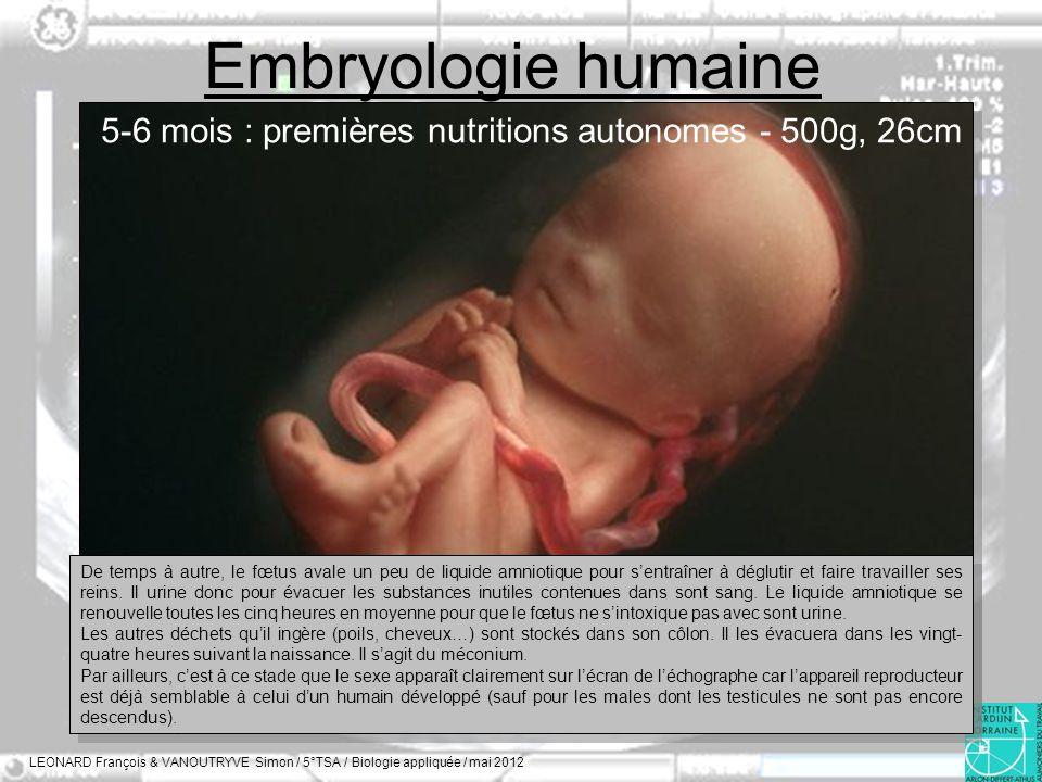 Embryologie humaine 5-6 mois : premières nutritions autonomes - 500g, 26cm.