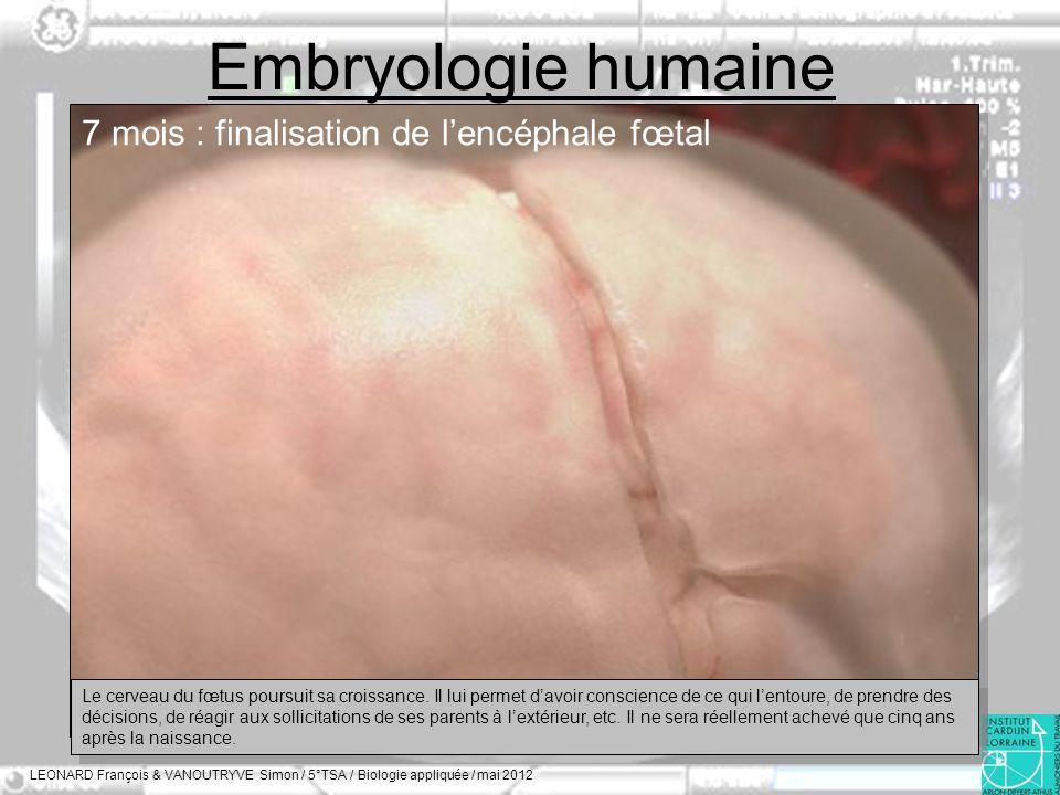 Embryologie humaine 7 mois : finalisation de l'encéphale fœtal