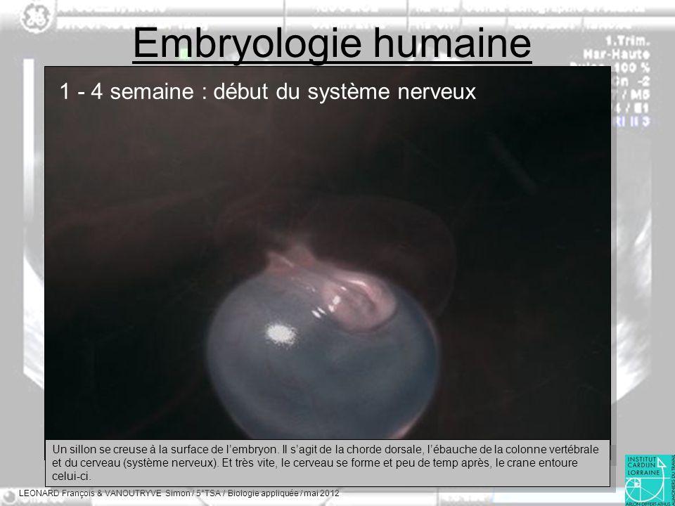 Embryologie humaine 1 - 4 semaine : début du système nerveux