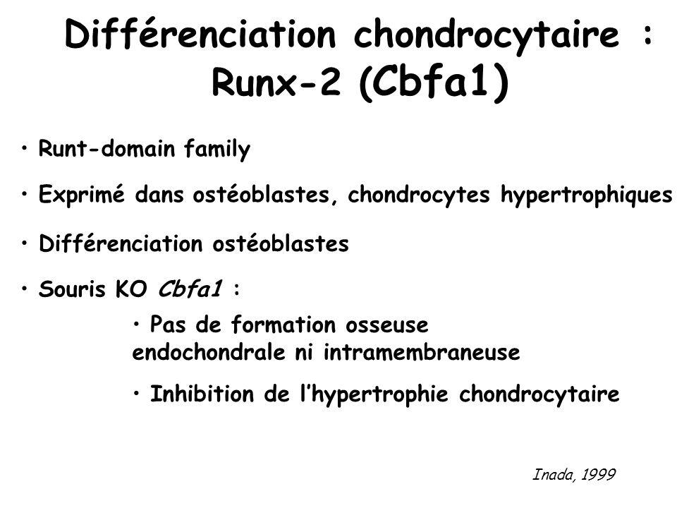 Différenciation chondrocytaire : Runx-2 (Cbfa1)