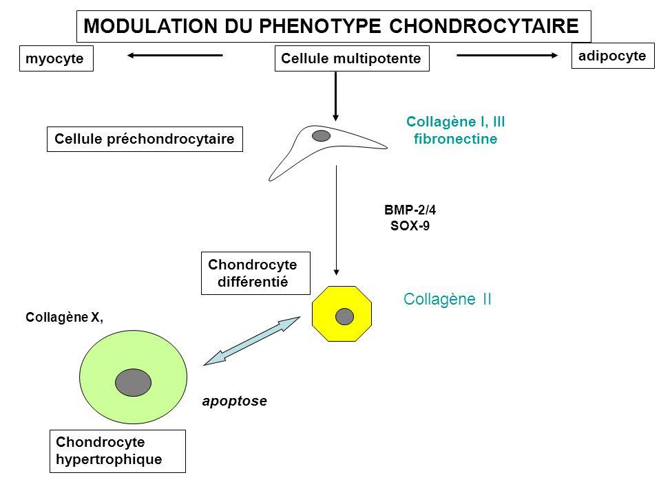 Cellule préchondrocytaire