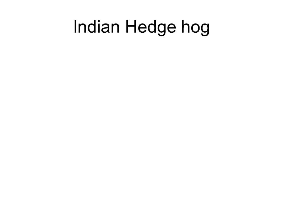 Indian Hedge hog