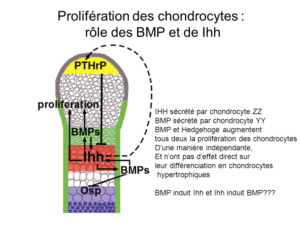 Prolifération des chondrocytes :