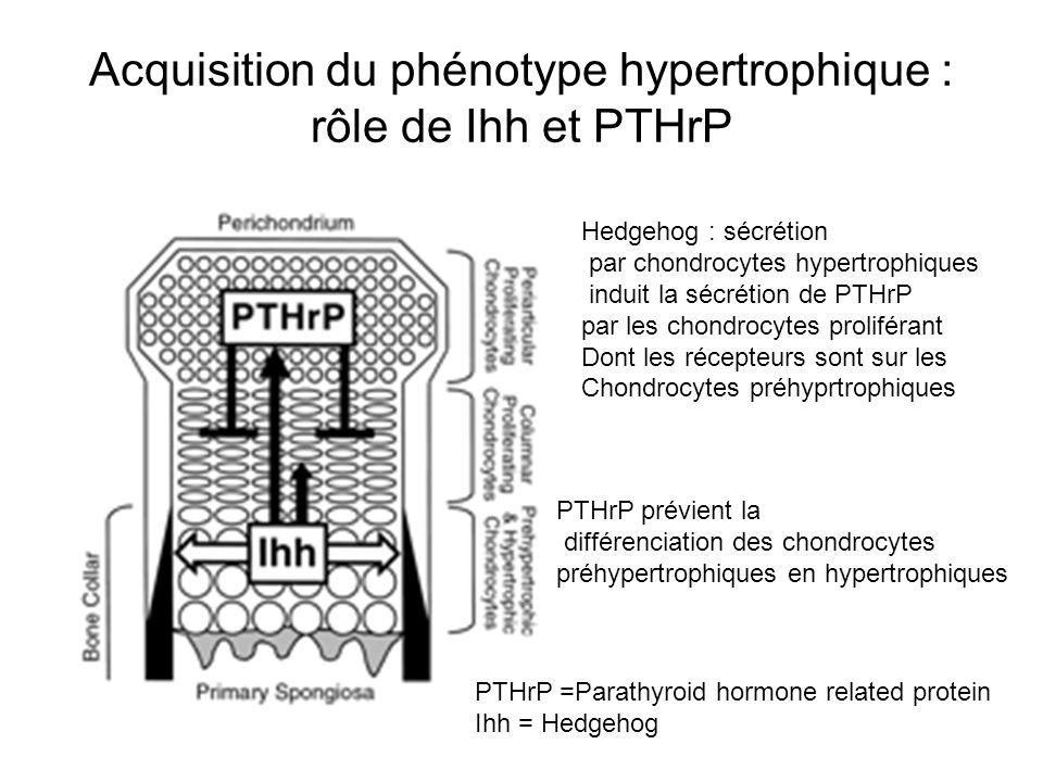 Acquisition du phénotype hypertrophique : rôle de Ihh et PTHrP