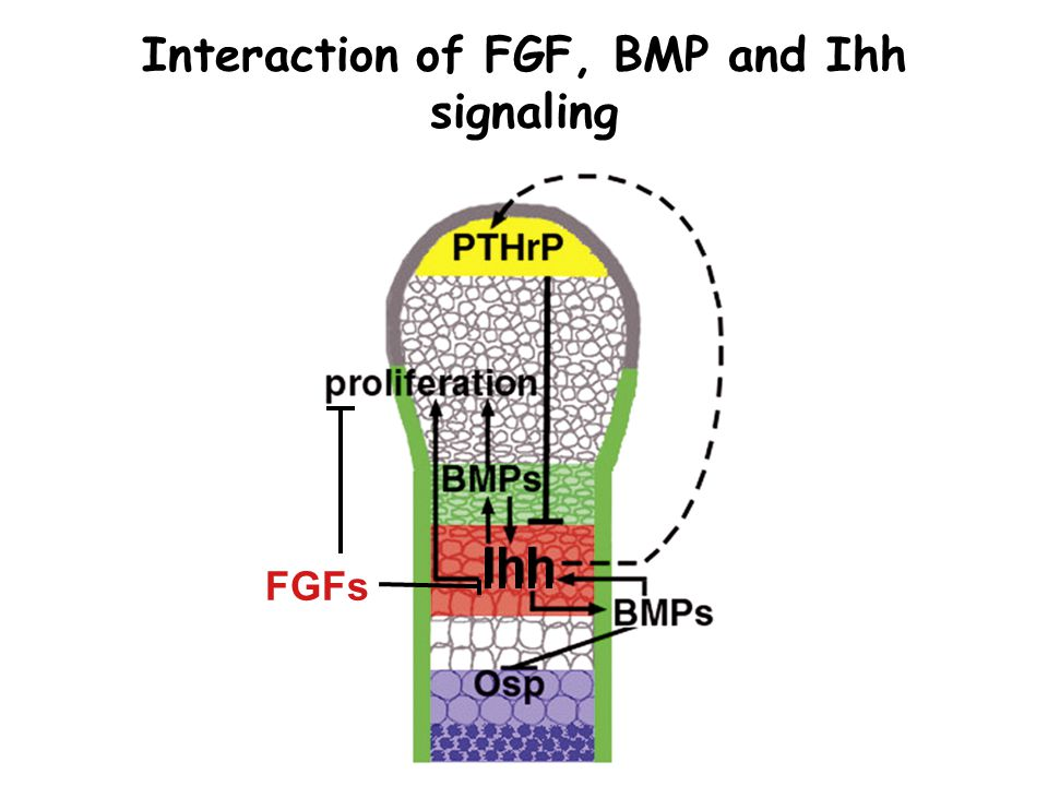 Interaction of FGF, BMP and Ihh signaling