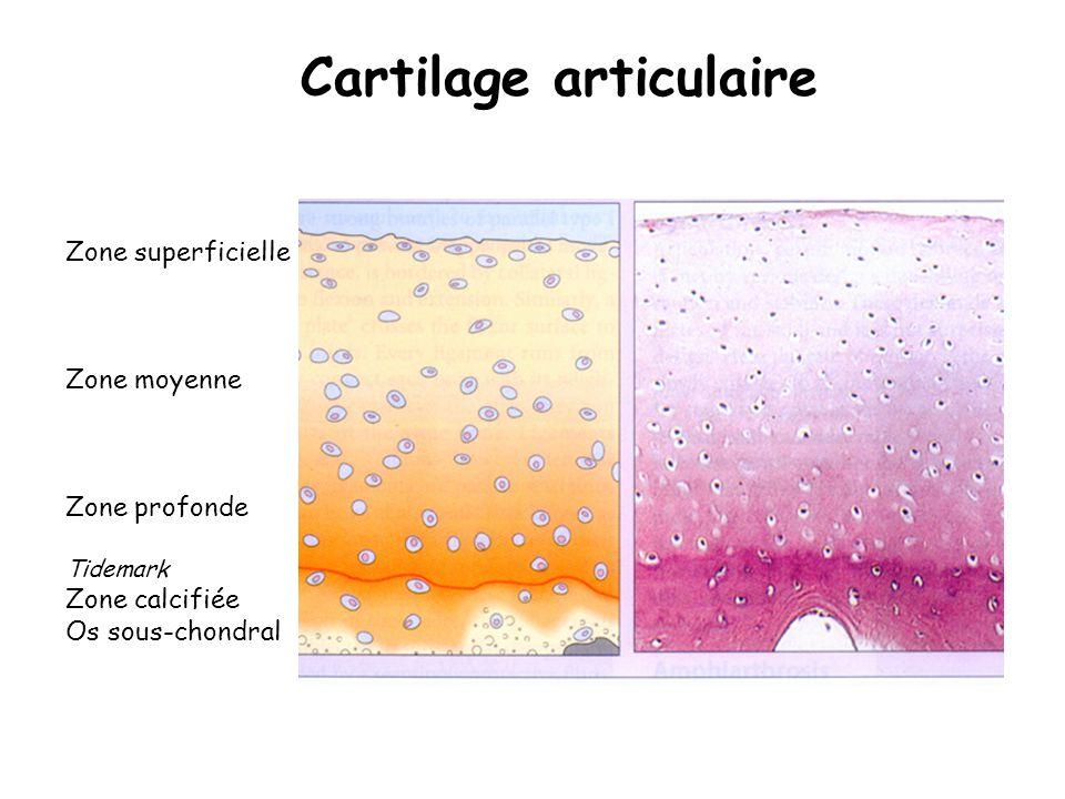 Cartilage articulaire