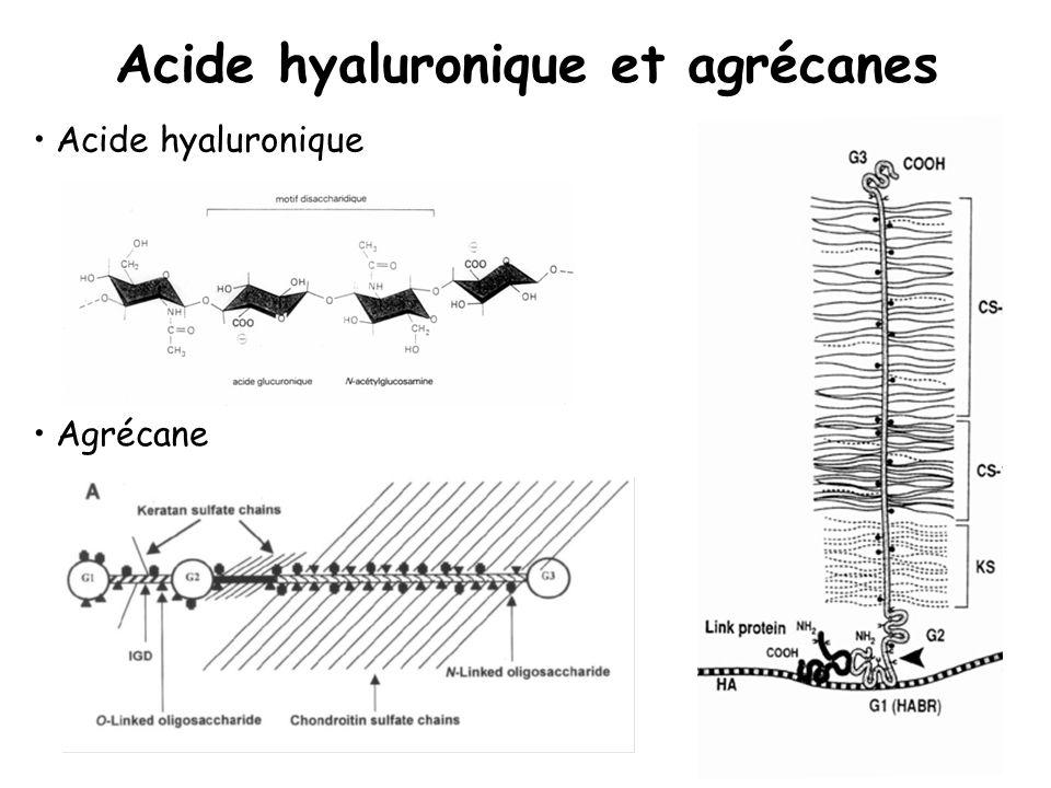 Acide hyaluronique et agrécanes