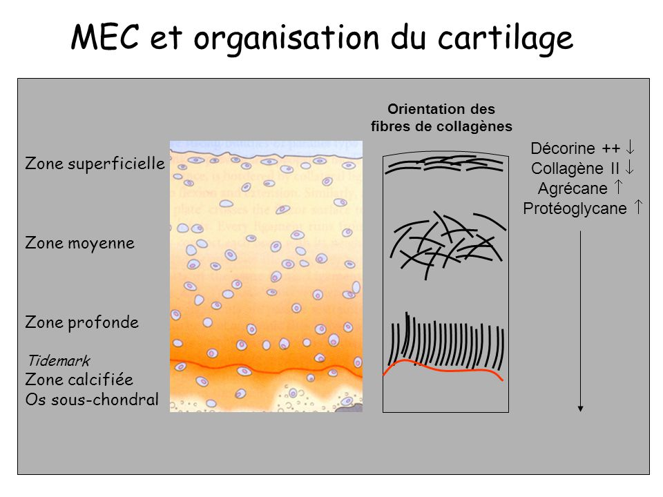 MEC et organisation du cartilage