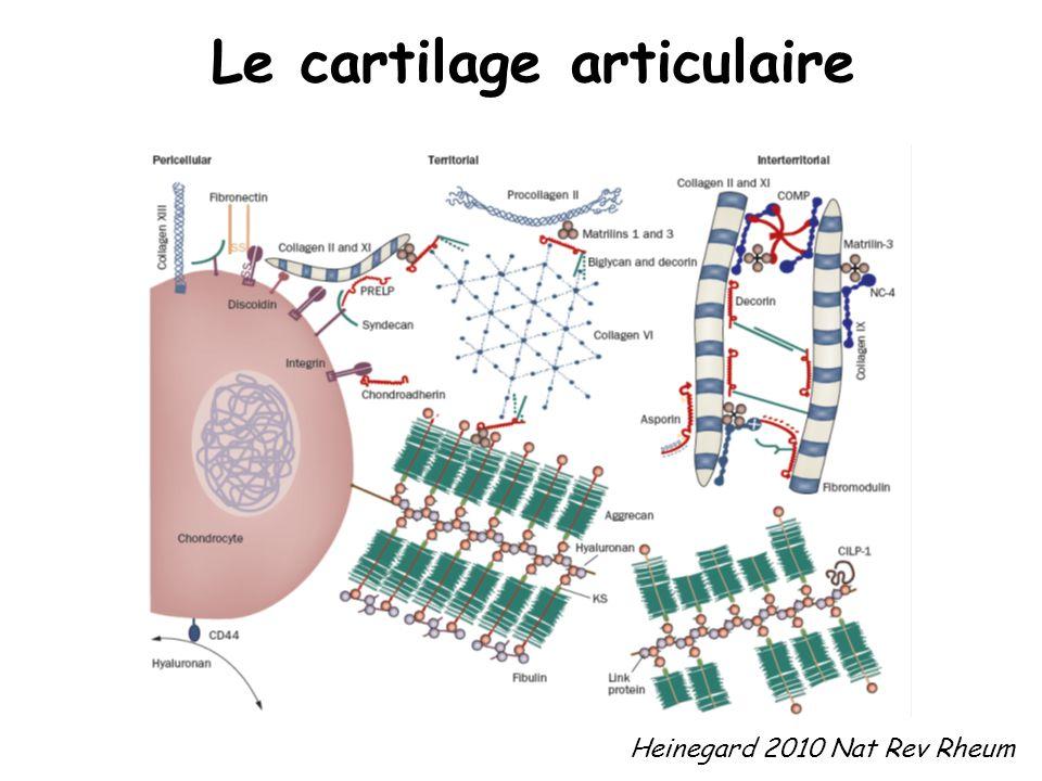 Le cartilage articulaire