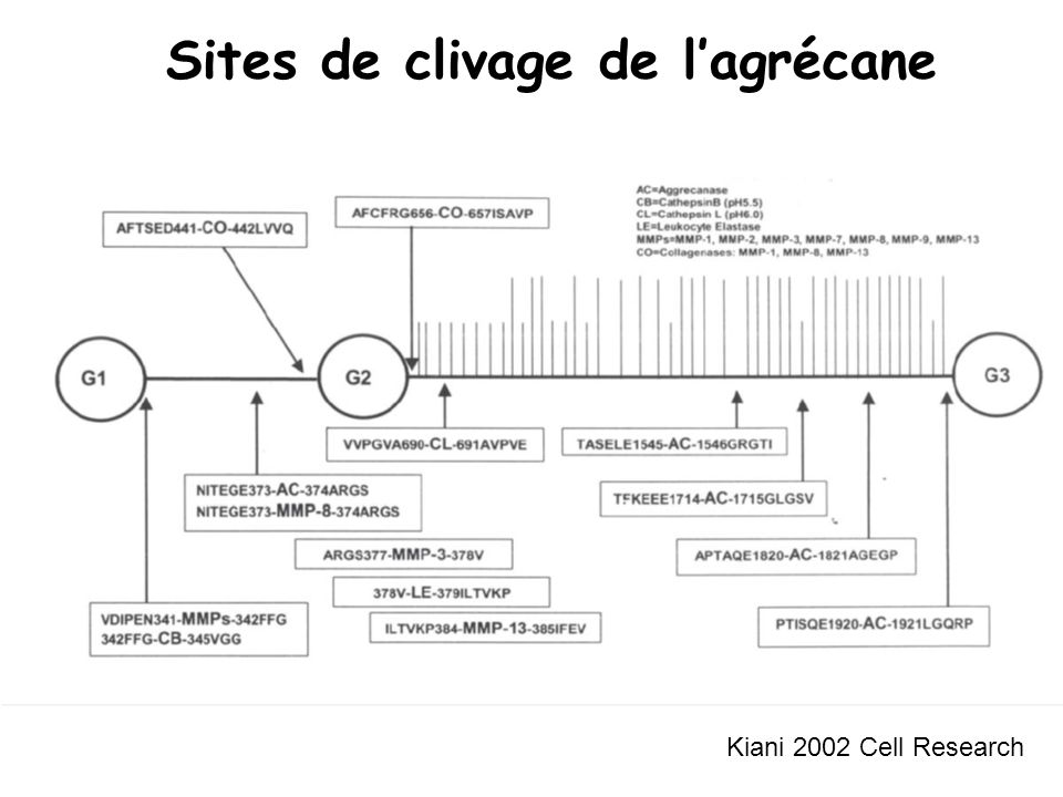 Sites de clivage de l'agrécane