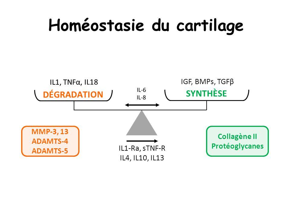 Homéostasie du cartilage