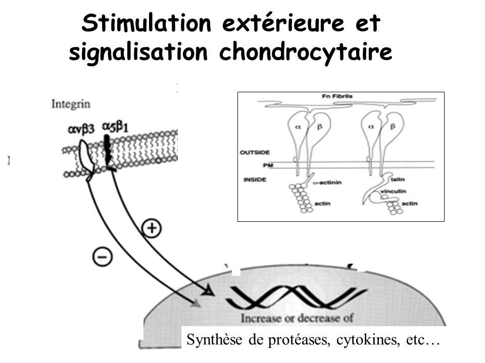 Stimulation extérieure et signalisation chondrocytaire