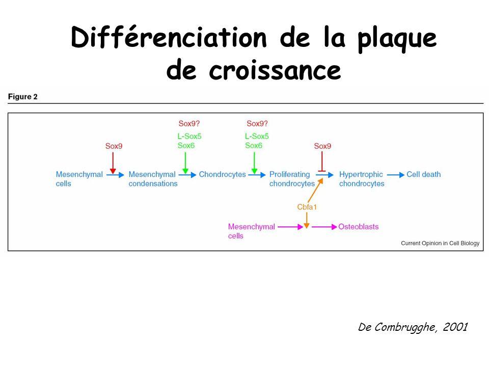 Différenciation de la plaque de croissance
