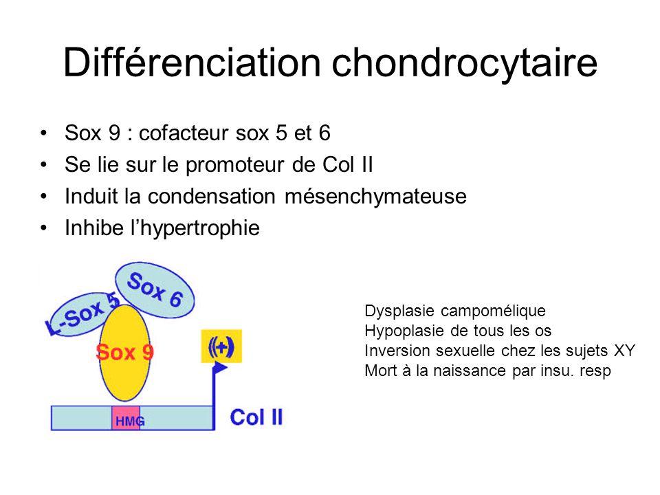 Différenciation chondrocytaire
