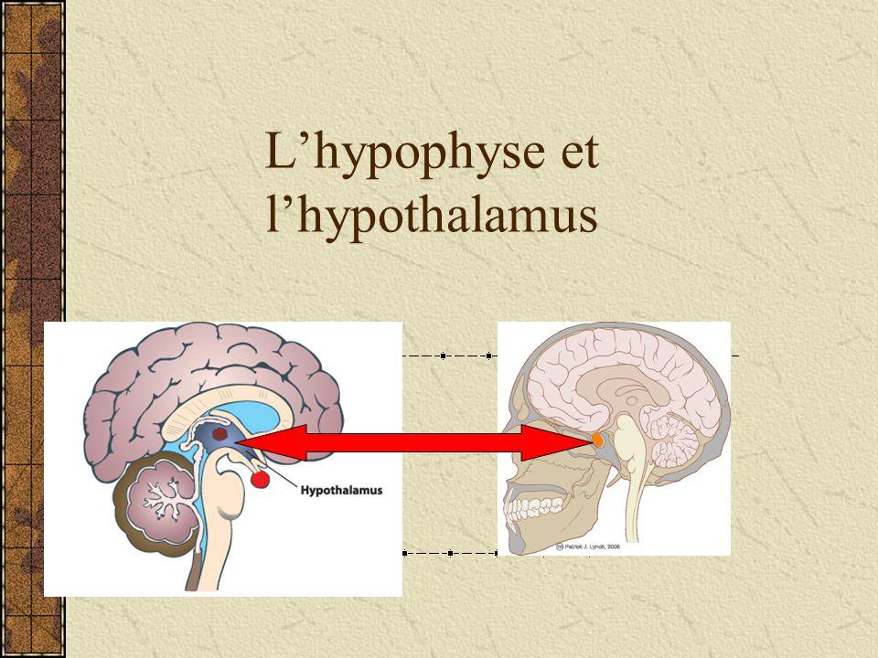 L'hypophyse et l'hypothalamus