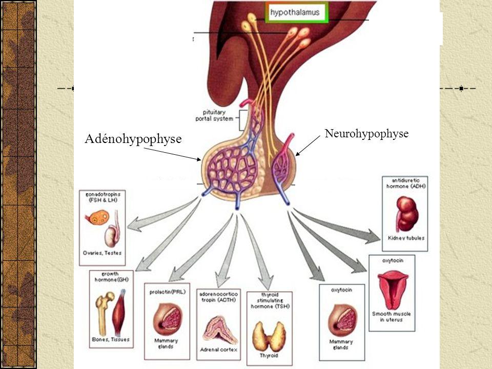 Neurohypophyse Adénohypophyse