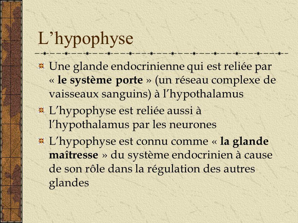 L'hypophyse Une glande endocrinienne qui est reliée par « le système porte » (un réseau complexe de vaisseaux sanguins) à l'hypothalamus.