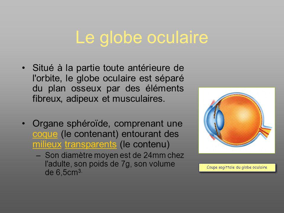 Coupe sagittale du globe oculaire