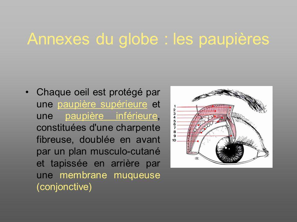 Annexes du globe : les paupières