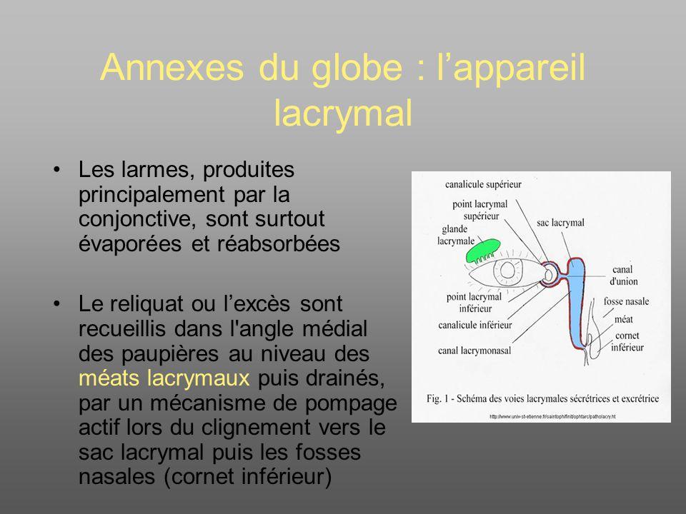 Annexes du globe : l'appareil lacrymal