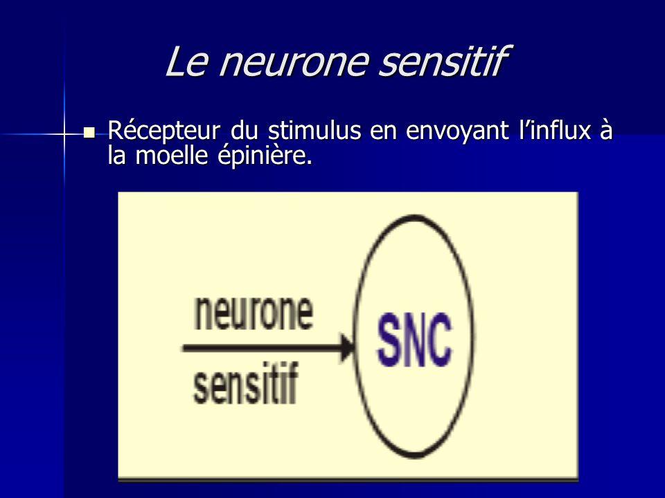 Le neurone sensitif Récepteur du stimulus en envoyant l'influx à la moelle épinière.