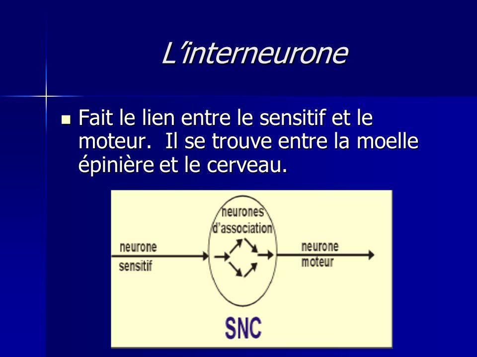 L'interneurone Fait le lien entre le sensitif et le moteur.