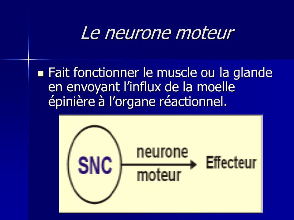 Le neurone moteur Fait fonctionner le muscle ou la glande en envoyant l'influx de la moelle épinière à l'organe réactionnel.