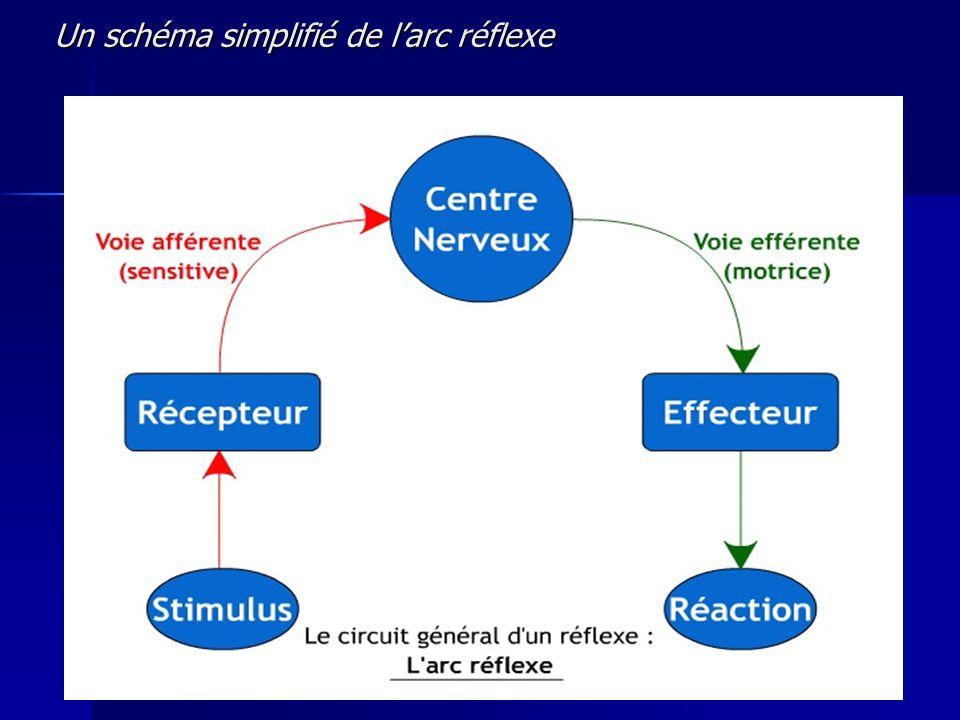 Un schéma simplifié de l'arc réflexe