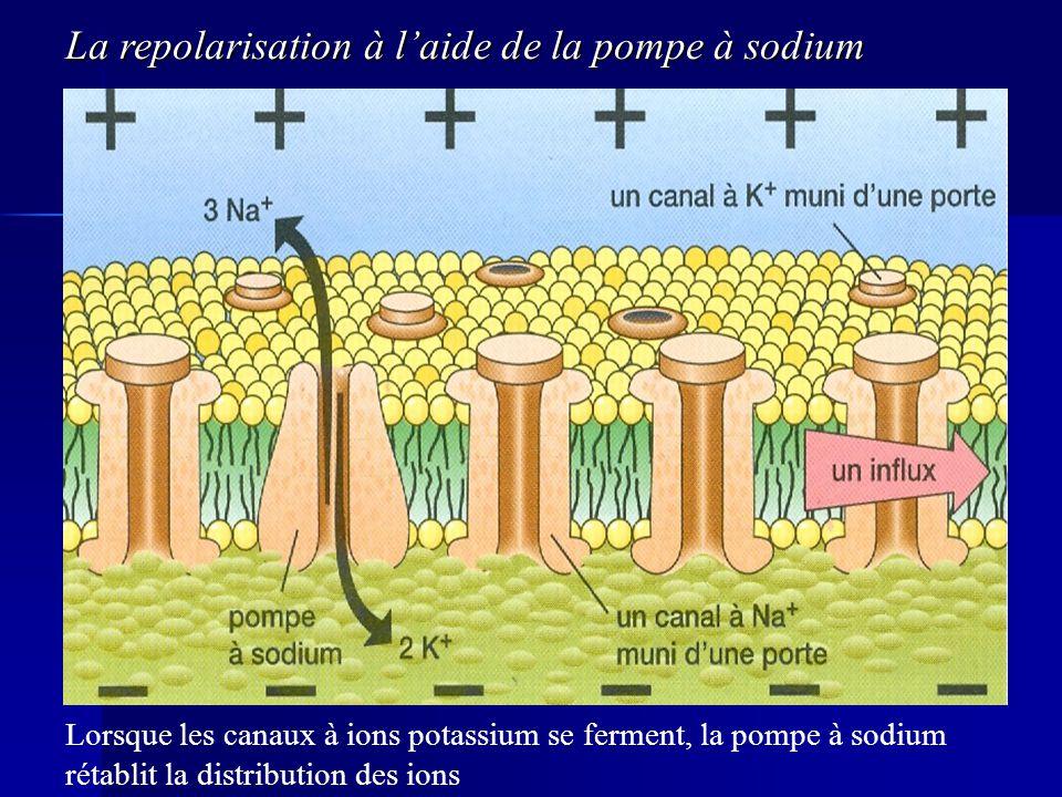 La repolarisation à l'aide de la pompe à sodium