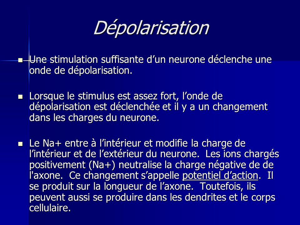 Dépolarisation Une stimulation suffisante d'un neurone déclenche une onde de dépolarisation.