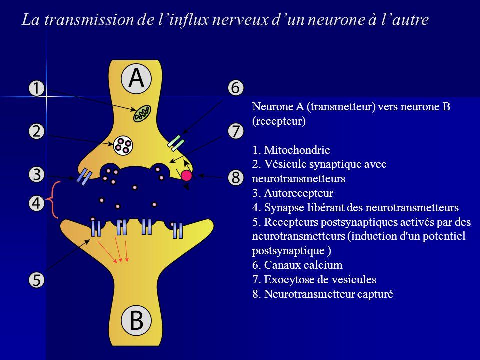 La transmission de l'influx nerveux d'un neurone à l'autre