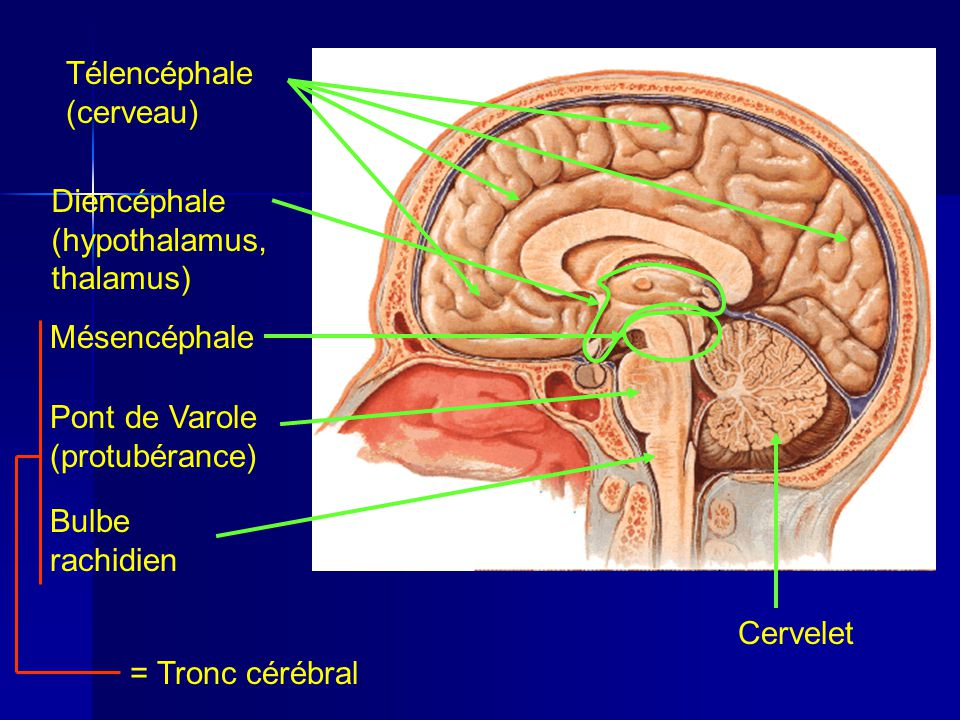 Télencéphale (cerveau)